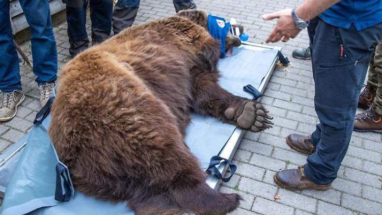 Der Braunbär Michal wird bei einer medizinischen Kontrolle im Bärenwald Müritz gewogen. Foto: Jens Büttner/dpa-Zentralbild/dpa
