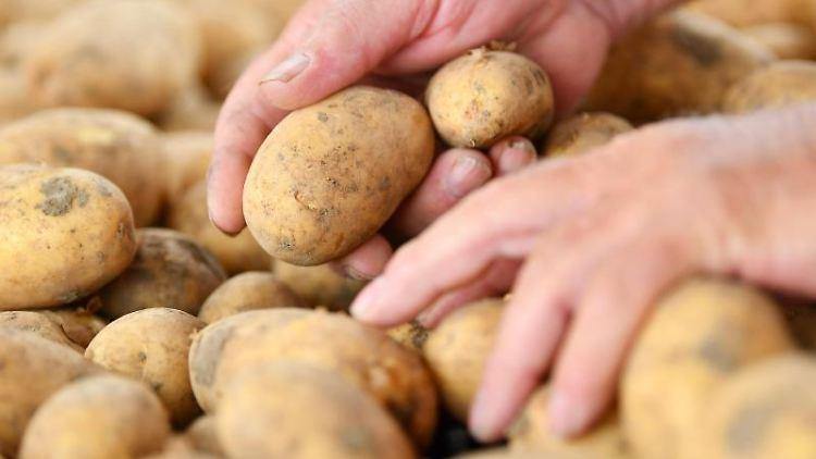 Hände greifen beim Erntebeginn nach Kartoffeln. Foto: Uwe Anspach/dpa/Symbolbild