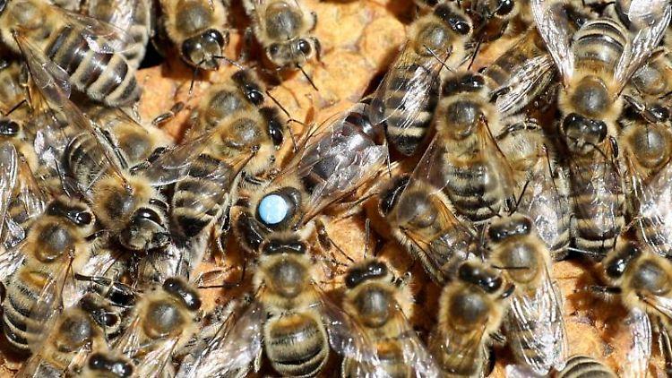 Auf einer Bienenwabe sind Bienen und die Königin zu sehen. Foto: Bernd Wüstneck/dpa-Zentralbild/ZB/Symbolbild