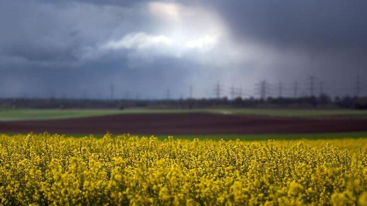 Gelb bei bewölktem Himmel auf einem Feld bei Stommeln. Foto: Federico Gambarini/dpa/Archivbild