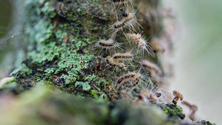Eichenprozessionsspinner in ihrem Nest auf einem Baum. Foto: Lisa Ducret/dpa/Archivbild