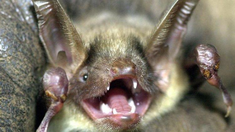 Eine Fledermaus reißt ihr Maul auf. Foto: Holger Hollemann/dpa/Archivbild