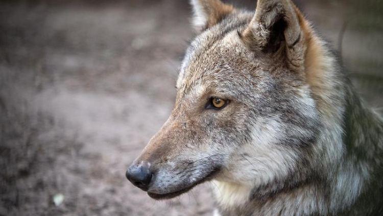 Ein Europäischer Grauwolf liegt in seinem Gehege. Foto: Sina Schuldt/dpa/Symbolbild