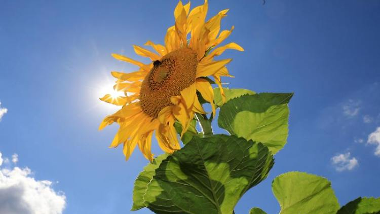 Sonnenblumen blühen auf einem Feld. Foto: Peter Gercke/dpa-Zentralbild/ZB/Archivbild