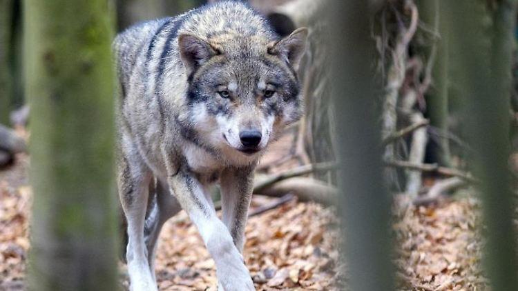 Ein Wolf in einem Freigehege. Foto: Klaus-Dietmar Gabbert/dpa-Zentralbild/dpa/Archivbild