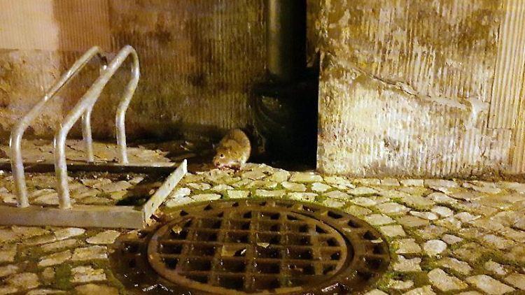 Eine Ratte sitzt nachts an einer Häuserwand in der Innenstadt. Foto: Sabrina Hentschel/dpa-Zentralbild/dpa/Symbolbild