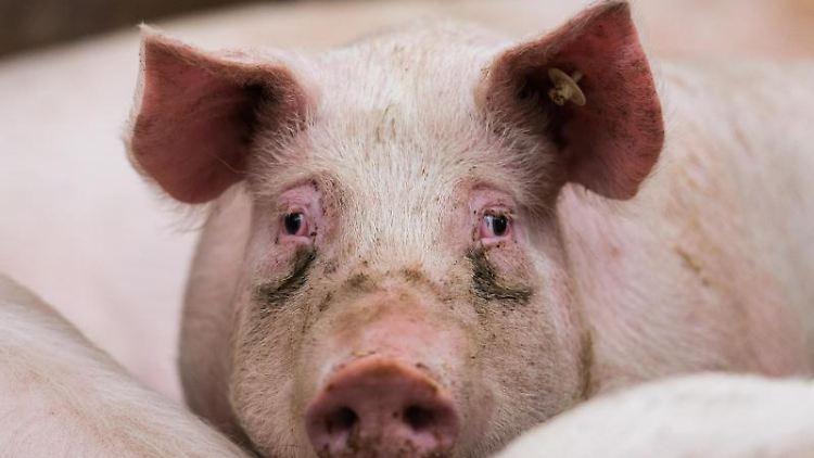 Ein Mastschwein in seinem Stall. Foto: picture alliance / Andreas Arnold/dpa/Symbolbild