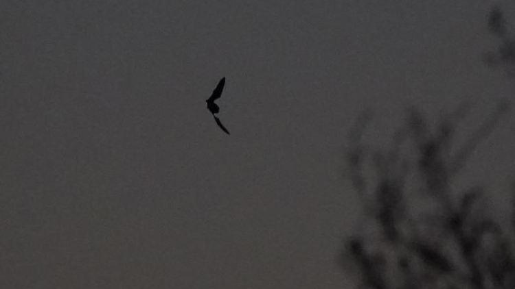 Eine Fledermaus fliegt in der Abenddämmerung an einem Waldstück vorbei. Foto: Marcus Brandt/dpa