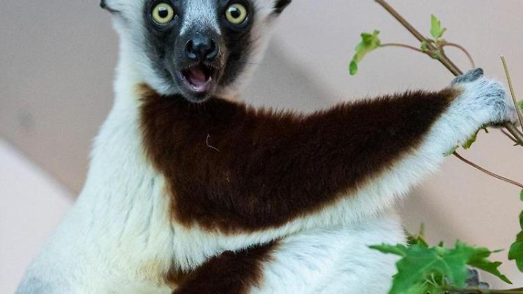 Das Coquerel-Sifaka-Männchen