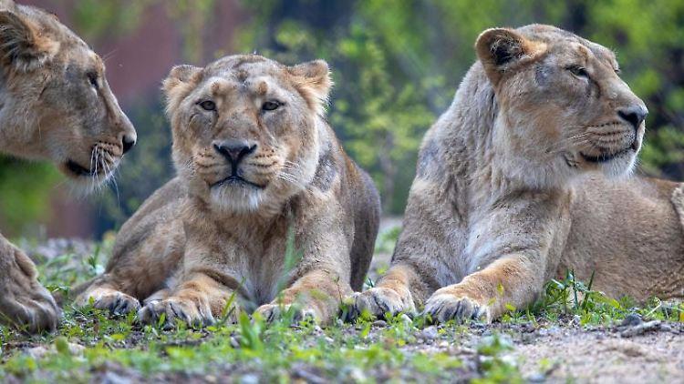 Drei der vier Asiatischen Löwen im Freigelände des Rote-Liste-Zentrums im Schweriner Zoo. Foto: Jens Büttner/dpa-Zentralbild/dpa/Archivbild