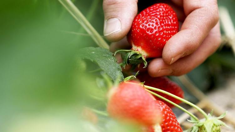 Ein Obstbauer pflückt Erdbeeren. Foto: Oliver Berg/dpa/Symbolbild
