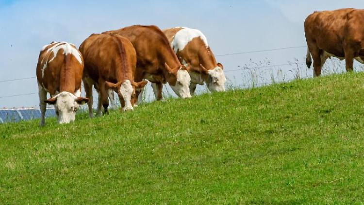 Rinder stehen auf einer grünen Weide. Foto: Peter Kneffel/dpa/Symbolbild