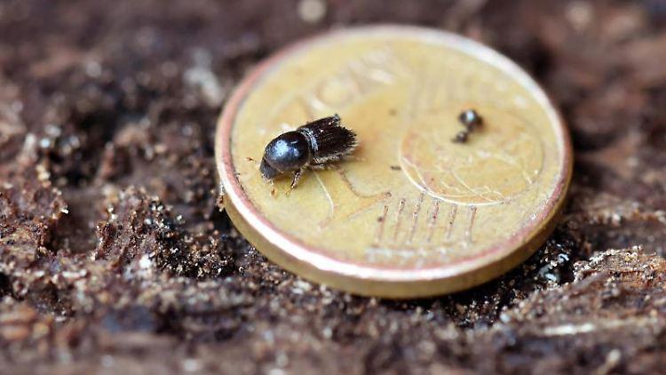 Ein Borkenkäfer krabbelt beim Schliffkopf im Schwarzwald über eine Ein-Cent-Münze, die auf einer Fichtenrinde liegt. Foto: picture alliance / Uli Deck/dpa/Symbolbild
