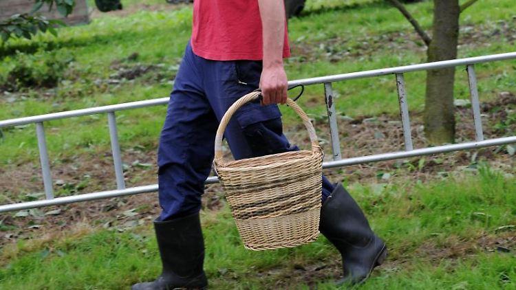Ein Saisonpflücker geht ausgerüstet mit Korb und Leiter durch eine Kirschenplantage. Foto: picture alliance/Uwe Zucchi/dpa/Symbolbild
