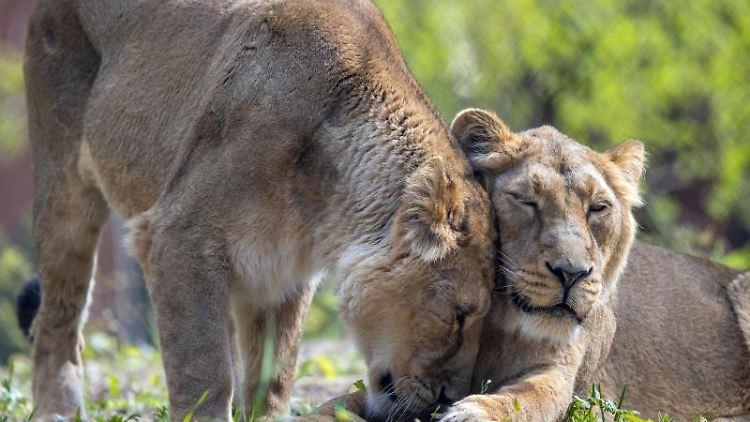 Zwei der vier neuen Asiatischen Löwen liegen im Freigelände des neuen Rote-Liste-Zentrums im Schweriner Zoo. Foto: Jens Büttner/dpa-Zentralbild/dpa/Symbolbild