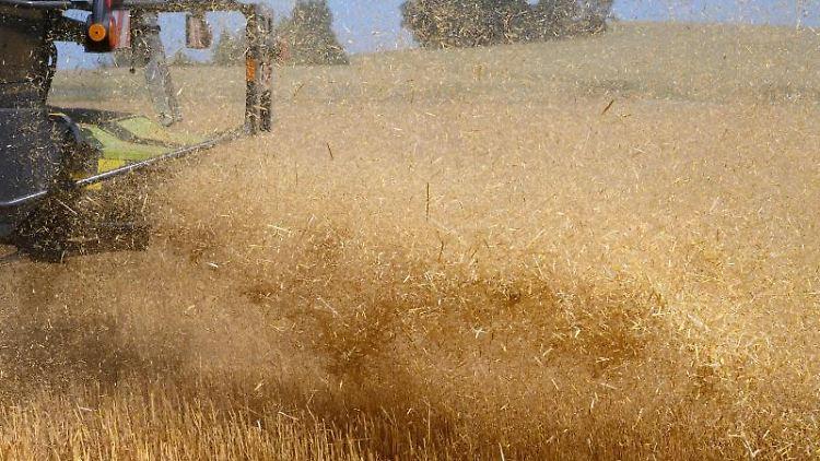 Ein Landwirt fährt zum Ernteauftakt mit dem Mähdrescher über ein Gerstenfeld. Foto: Robert Michael/dpa-Zentralbild/dpa/Symbolbild