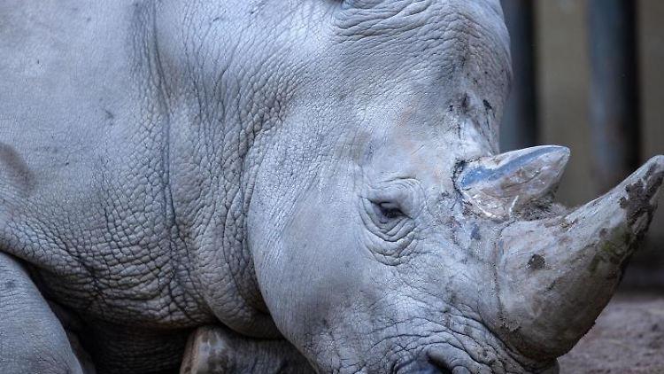 Nashornbulle Kimba liegt auf der Außenanlage des Schweriner Zoos. Foto: Jens Büttner/dpa-Zentralbild/dpa/Archivbild