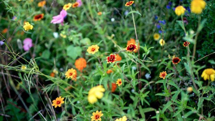 Wildblumen wachsen auf einer Wiese. Foto: Hauke-Christian Dittrich/dpa/dpa-tmn/Symbolbild