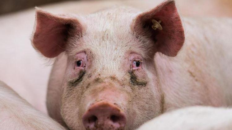 Ein Mastschwein steht in seinem Stall. Foto: picture alliance / Andreas Arnold/dpa/Symbolbild