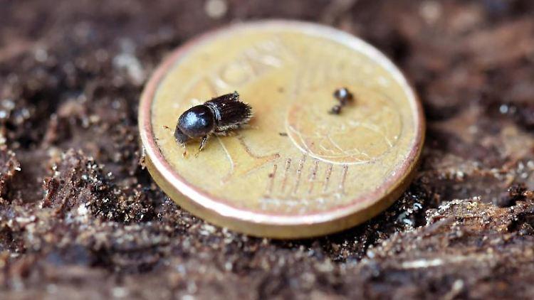 Ein Borkenkäfer krabbelt über eine Ein-Cent-Münze. Foto: picture alliance / Uli Deck/dpa/Archivbild