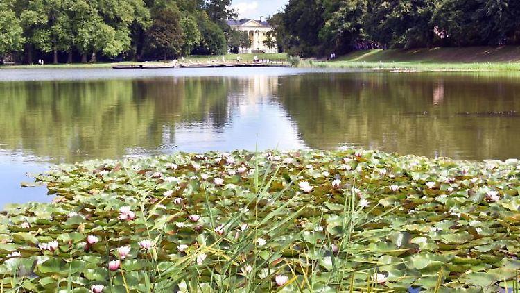 Auf dem Wörlitzer See im Dessau-Wörlitzer Gartenreich blühen vor dem Schloss Seerosen. Foto: Waltraud Grubitzsch/dpa-Zentralbild/ZB/Archivbild