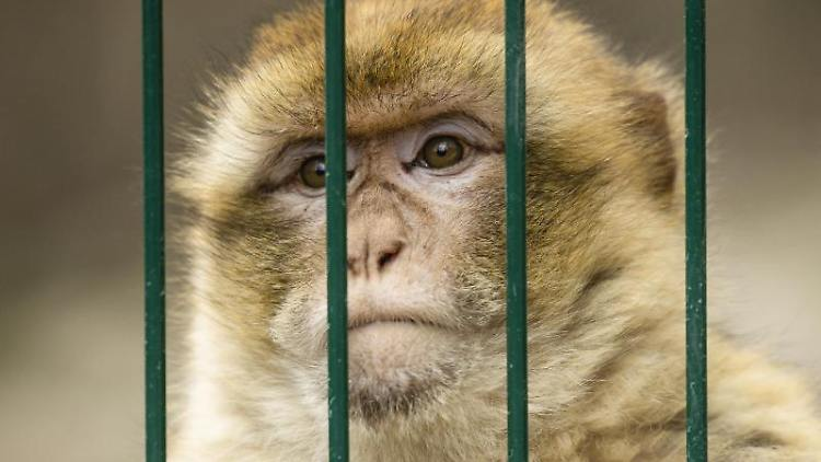Ein Berberaffe hinter Gitterstäben. Foto: Frank Molter/dpa/Symbolbild