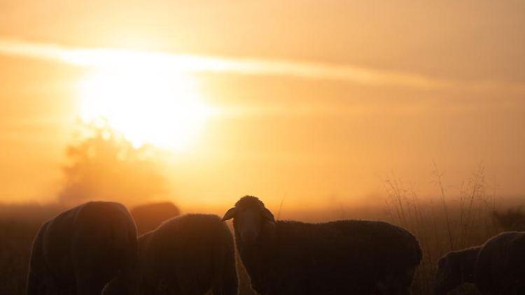 Schafe stehen bei Sonnenaufgang auf einer Wiese im Nebel. Foto: Sebastian Gollnow/dpa/Archivbild