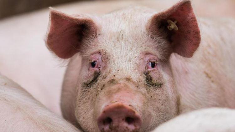 Ein Mastschwein steht in seinem Stall. Foto: Andreas Arnold/dpa