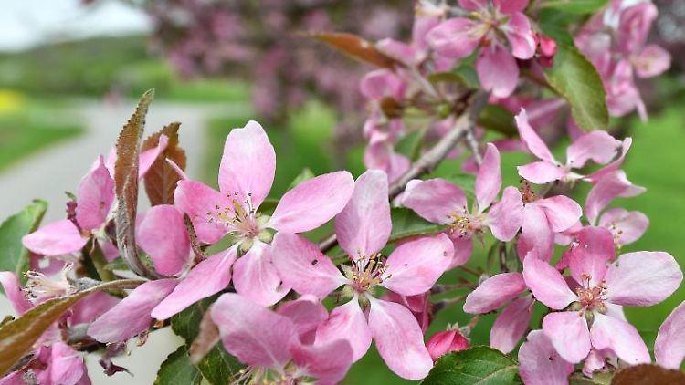Apfelbäume blühen am Wegrand. Foto: Martin Schutt/dpa-Zentralbild/dpa/Archivbild