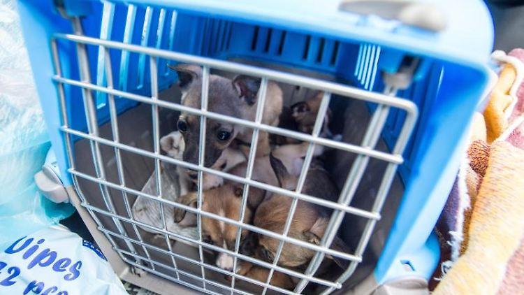 Fünf Welpen sitzen in einem Käfig in einem angehaltenen Fahrzeug. Foto: Armin Weigel/dpa/Archivbild