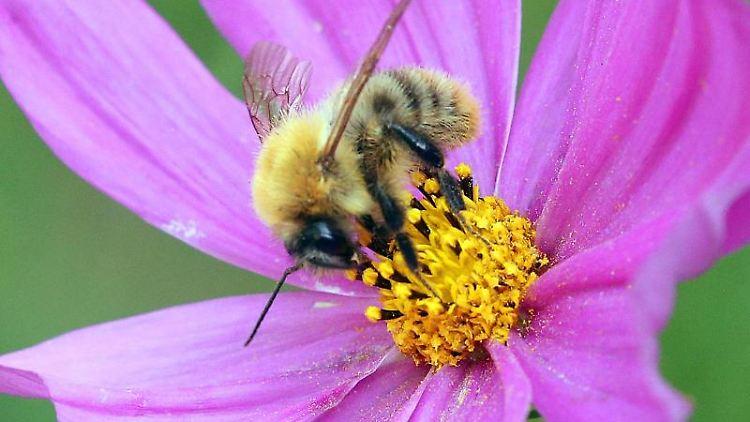 Eine Biene sitzt auf einer Blume. Foto: Wolfgang Kumm/dpa/Symbolbild