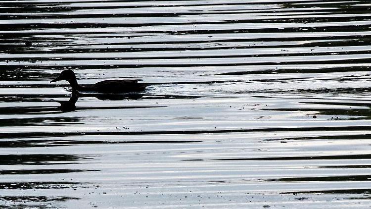 Eine Ente schwimmt in einem Teich. Foto: Federico Gambarini/dpa/Archivbild