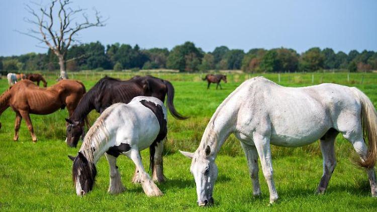 Pferde grasen auf einer Weide. Foto: Sina Schuldt/dpa
