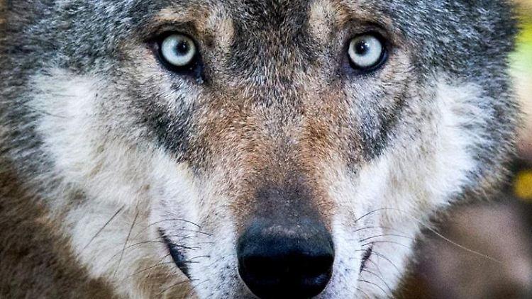 Ein Wolf steht in einem Gehege. Foto: Julian Stratenschulte/dpa/Archivbild