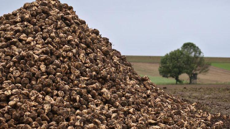 Zuckerrüben liegen am Rande eines Ackers zum Abtransport bereit. Foto: Karl-Josef Hildenbrand/dpa