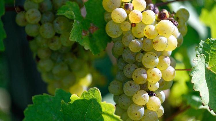 Weintrauben hängen in einem Weinberg der Weinmanufaktur Pieper. Foto: Henning Kaiser/dpa
