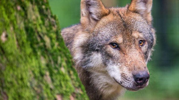 Ein Wolf schaut hinter einem Baum hervor. Foto: Lino Mirgeler/dpa/Symbolbild