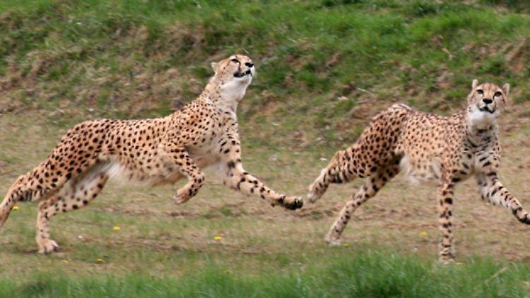 Solche Sprints kann das Tier höchstens 500 Meter durchhalten. Die Schnelligkeit braucht der Gepard, um erfolgreich zu jagen.