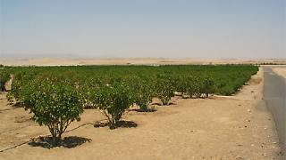 Jatropha-Pflanzen in der ägyptischen Wüste