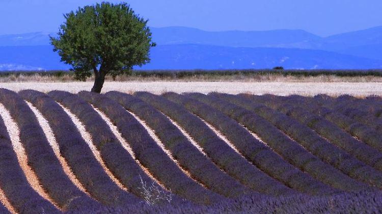 Typisch Provence - wer den Lavendel in voller Blüte sehen will, muss im Sommer in den Süden reisen.jpg