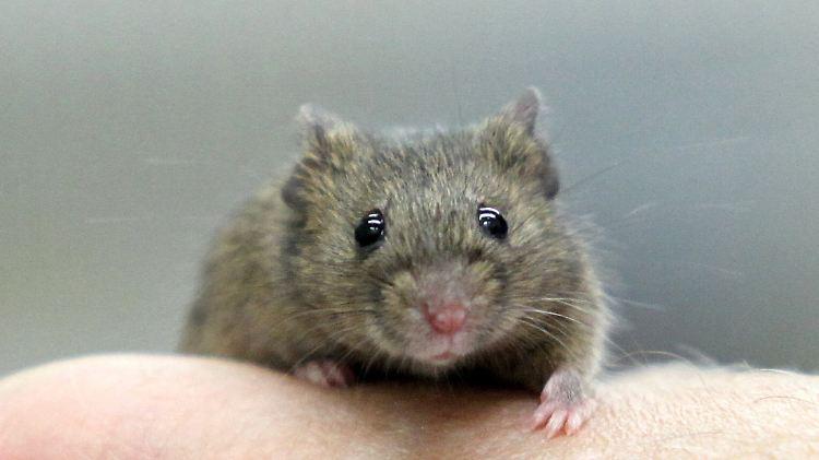 Interessantes Forschungsobjekt Die Maus Liebt Das Vertraute N Tv De
