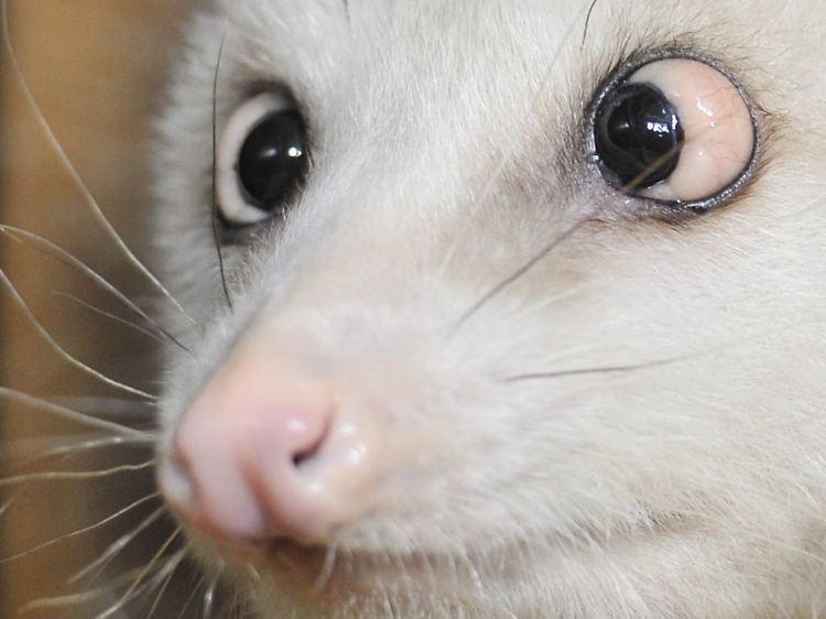 Schielendes Opossum