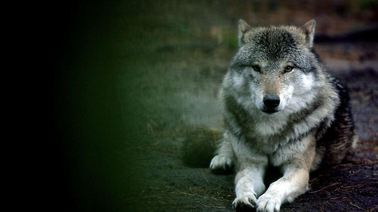 wolf_wildpark.jpg