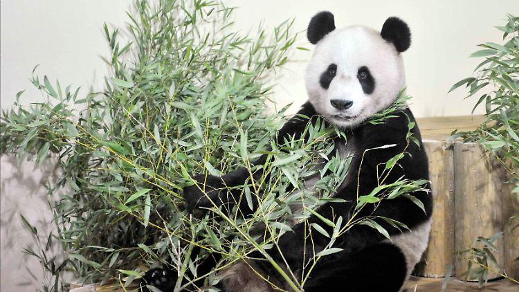 Dudelsack Und Frischer Bambus Pandas Ziehen Nach Schottland N Tv De