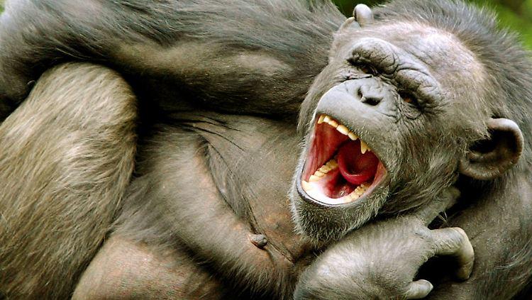 gähnender schimpanse.jpg