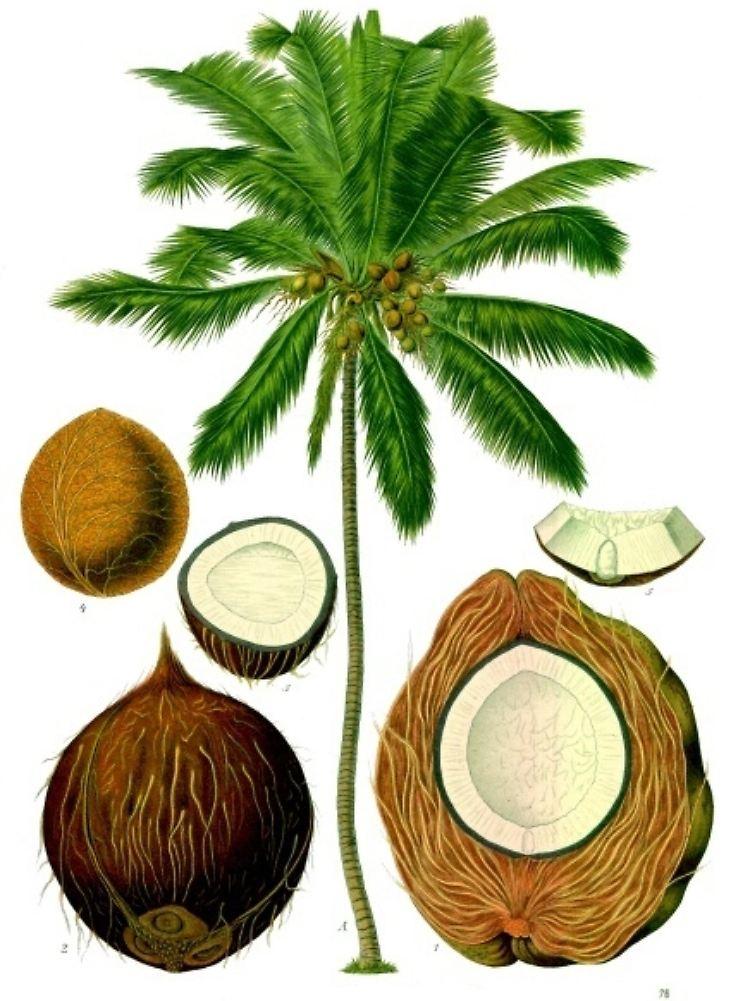 was ist kokosnuss