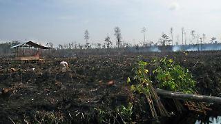 Bei Kalimantan auf der indonesischen Insel Borneo wurde der Torfmoorwald vor 13 Jahren für ein inzwischen gescheitertes Mega-Reis-Projekt abgeholzt (Archiv).