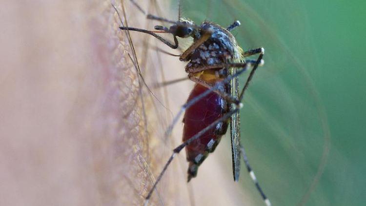 49 Mückenarten leben derzeit in Deutschland. Und es kommen immer wieder neue dazu, wie etwa die asiatische Tigermücke und der Buschmoskito. Foto: Patrick Pleul