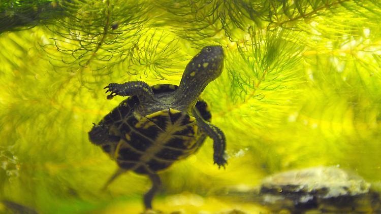 Mini Kühlschrank Für Schildkröten : Frage antwort nr Überwintern schildkröten im kühlschrank